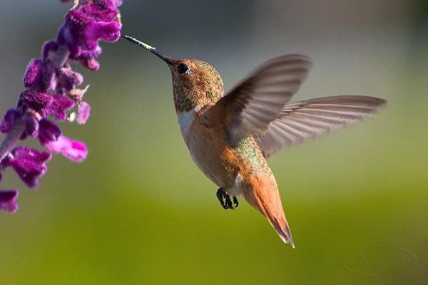 蜂鸟是世界上最小的鸟类